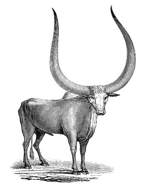 the project gutenberg ebook of delineations of the ox tribe by