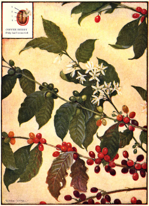 The project gutenberg ebook of all about coffee by william h ukers coffee branches flowers and fruit mightylinksfo
