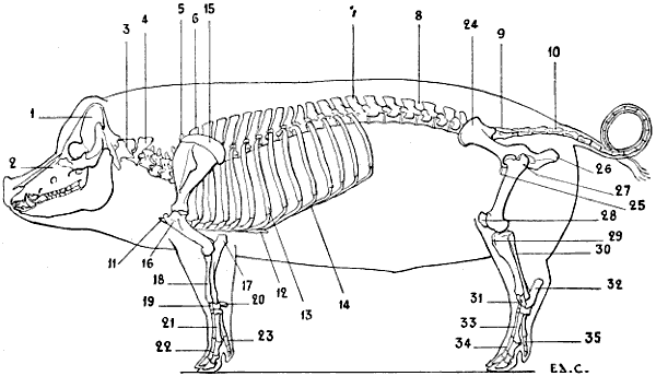 the project gutenberg ebook of the artistic anatomy of ... pig bone diagram pig arm diagram